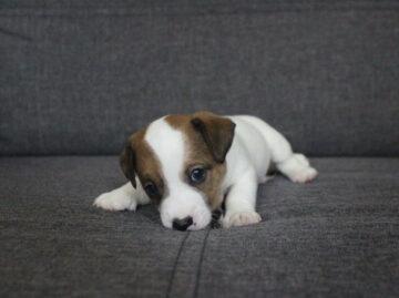 как приручить к пеленке щенка