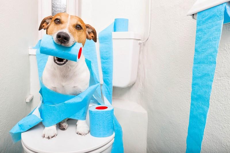 джек рассел терьер приучить к туалету